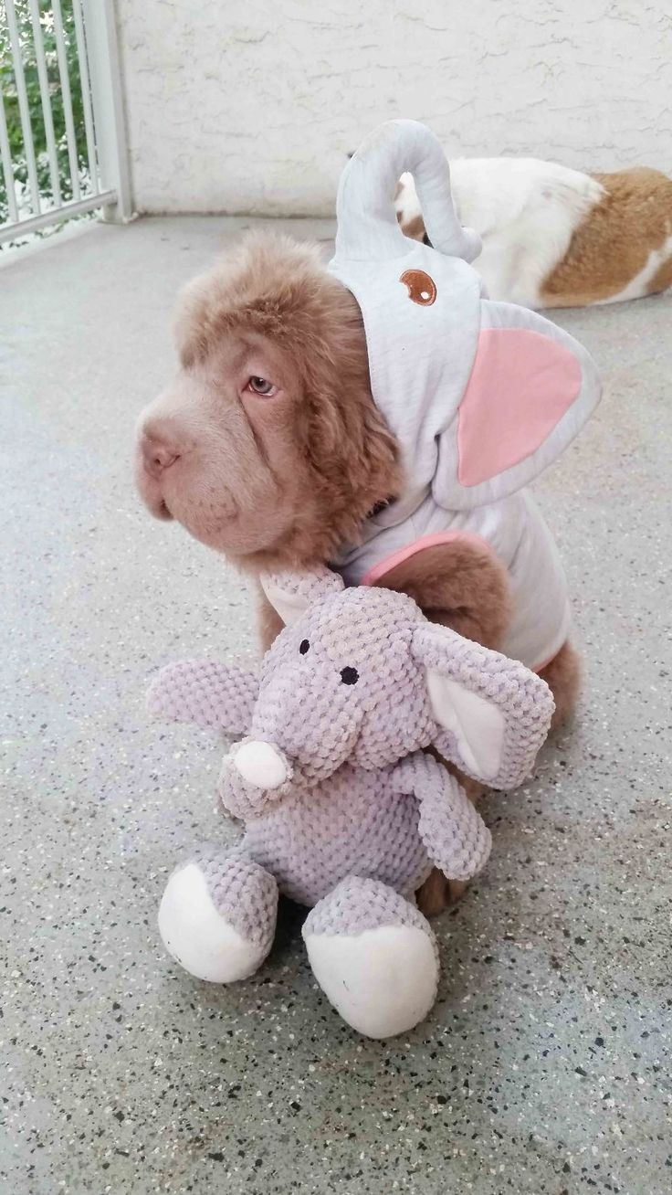 Shar Pei Check out https://www.facebook.com/ILoveSharpeiDogs/