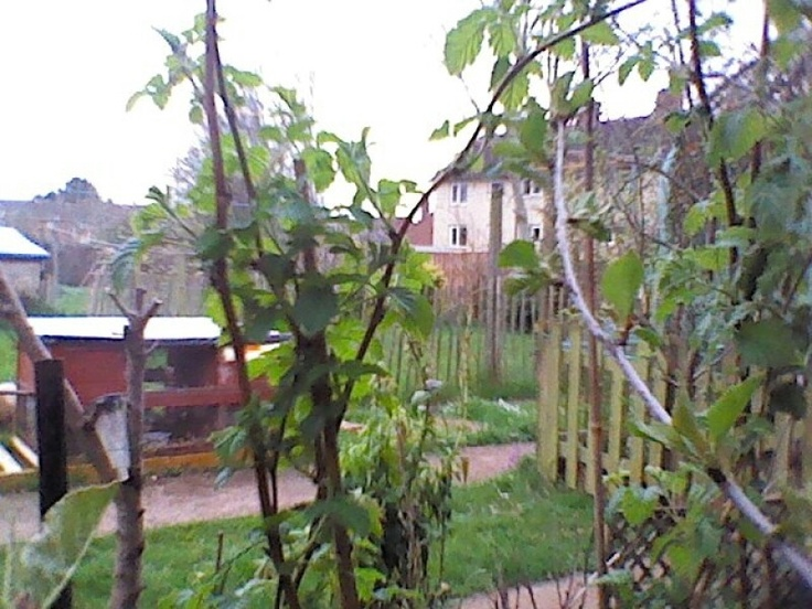 Well my rabbits in background , front my cherry tree cooking cherries only 22 April started flowering ...and some of my raspberry canes 60 in total...