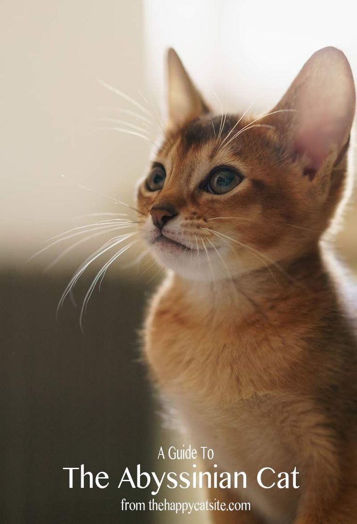 219 best Abyssinian Cats images on Pinterest | Kittens, Cats and ...