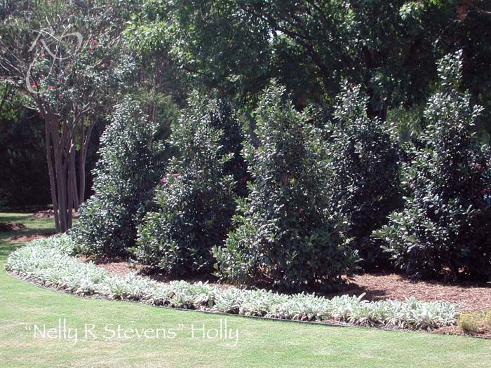 Landscaping Screening Trees : Best plant options images on landscaping