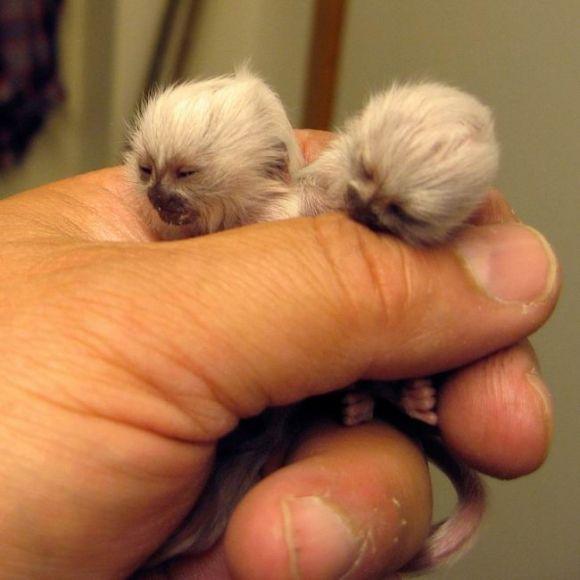 Twin albino baby monkeys