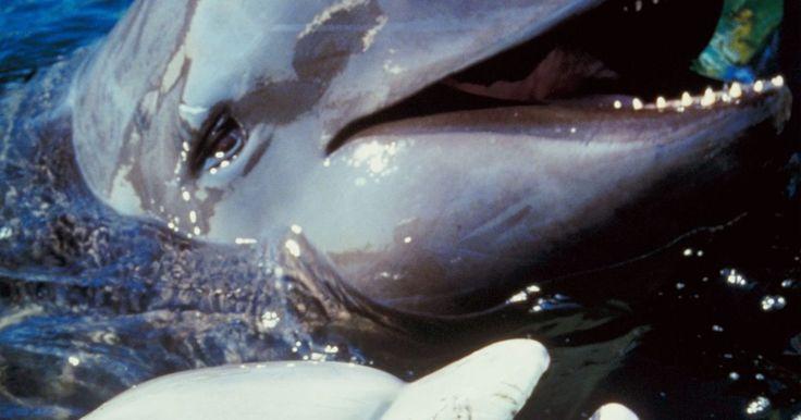 Como é a sensação de tocar a pele de um golfinho?. Golfinhos são mamíferos marinhos altamente inteligentes. Assim como todos os mamíferos, eles respiram com pulmões, possuem sangue quente, as fêmeas dão luz à filhotes, amamentando-os e, em algumas épocas de suas vidas, eles possuem pelos. A pele de um golfinho tem um papel extremamente importante na sobrevivência do animal no oceano. Se há a ...