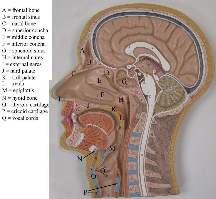 sagittal head model