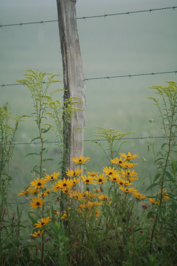Fence Post,Black Eyed Susans and rag weed~
