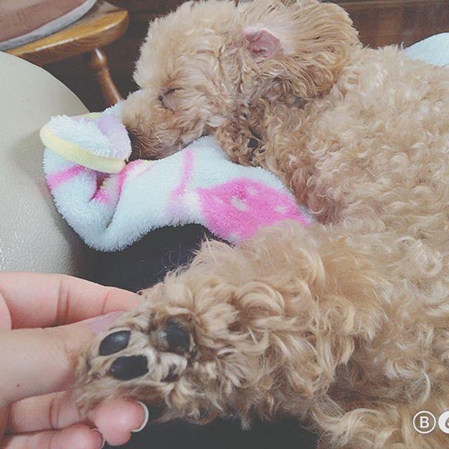 2017.06.28.wed.☔️ . 雨最悪〜〜〜〜梅雨〜〜 ムギみたいにずっと寝てたい〜〜 頑張ろう〜〜 #今日のわんこ#愛犬#トイプードル#トイプー#タイニープードル#犬バカ部#犬#トイプードル部#ふわもこ部 #癒し#男の子#toypoodle#tinypoodle#mydog#dog#poodle#poodlelove#pet#instapic#dogstagram#like4like#likeforlikes#instadog#instalikes#followme#instagood#instalike#instagram#l4l#むぎ日記