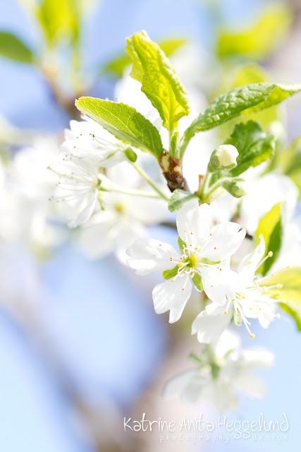 Plommetre som blomstrer. Våren 2013. Katrine Anitas magiske verden, www.katanita.net