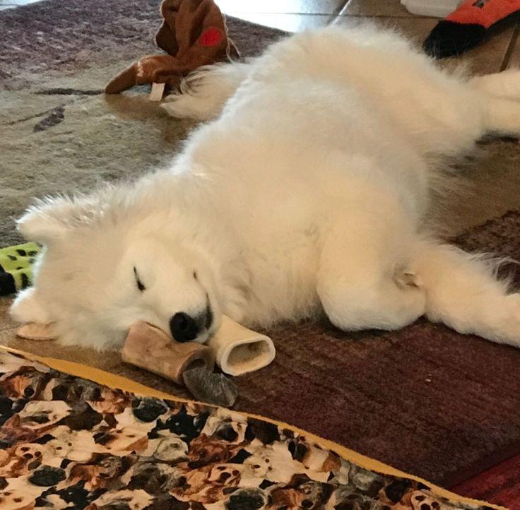 Dog bones make good pillows too #mysophie samoyed
