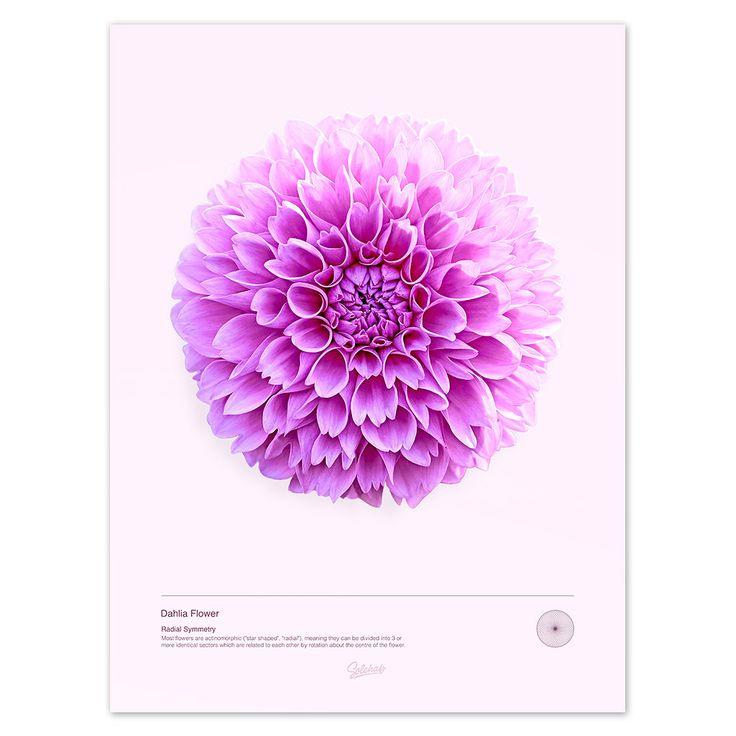 Dahlia Flower (Print) from Solehab