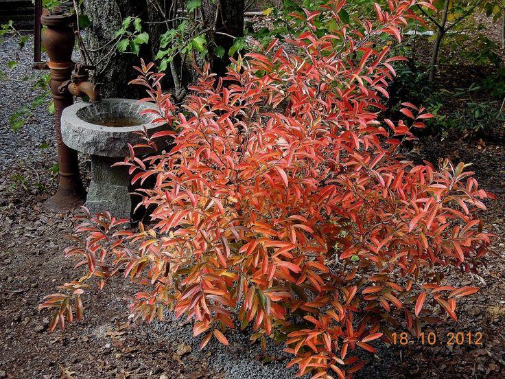 Lindera angustifolia klein boompje spektakel in de herfst!. De hoogte na 10 jaar is 300 cm. Deze plant heeft een goede herfstkleur. Deze plant is goed winterhard. Nederlandse naam : Koortsstruik