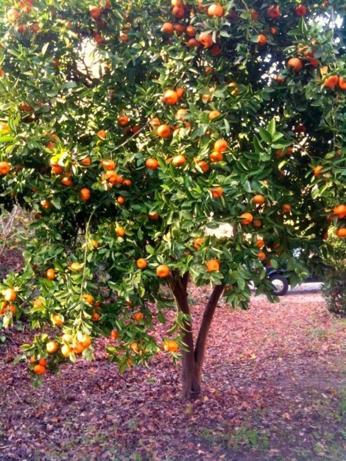 Satsuma Tangerine Trees Tree Garden Citrus
