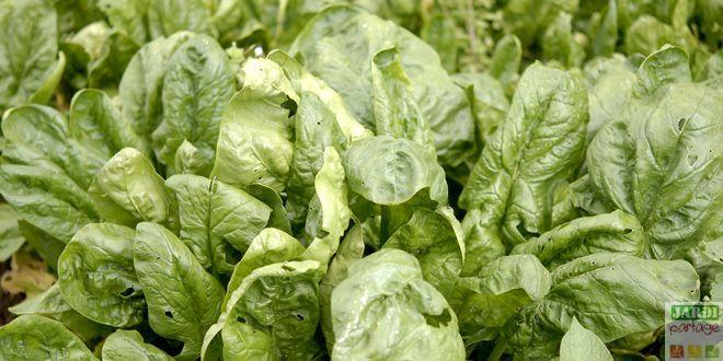 Comment cultiver les épinards: semis, entretien, astuces pour éviter la montée en graines, récolte...