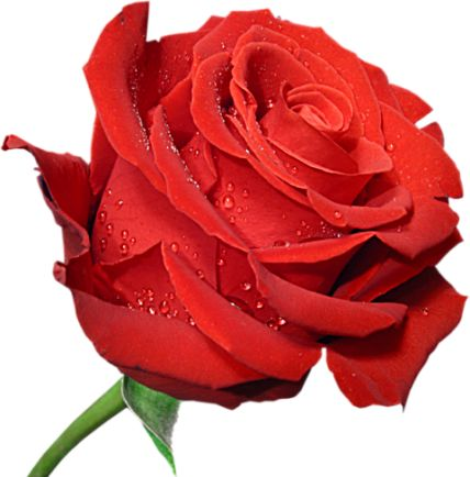 valentine red rose flower