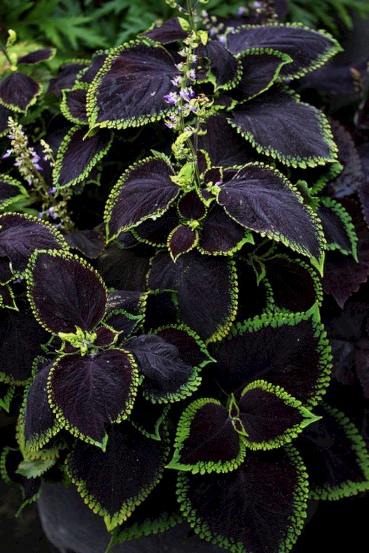 coleus-black-beauty