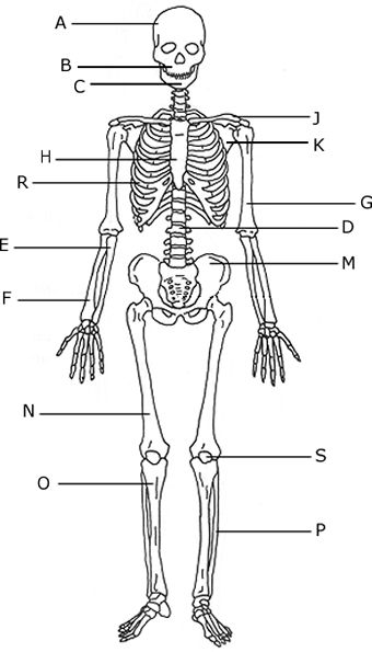 Simple Human Anatomy Diagram Humanskeletonlettered