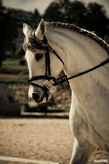 Dressage and Show Jumping. Love the dark-maned grays