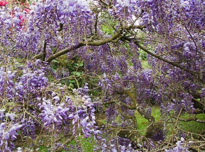 Les 25 meilleures id es de la cat gorie glycines sur pinterest vignes fleurs fleuraison de - Taille de la glycine ...