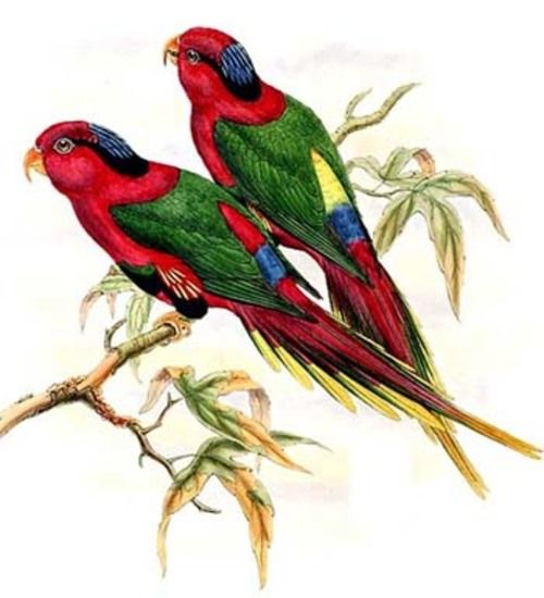 John Gould : oiseaux