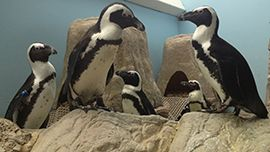 Animal Planet Live - African Penguin Cam (Daily Feedings: 11:30 AM ET and 4:00 PM ET. & Thursday Penguin Chats at 4:30 PM ET.)