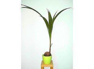 Kokosovník ořechoplodý (Cocos nucifera - Kokosová palma)