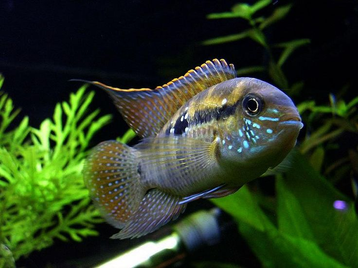 Blue Acara Cichlid Tropical Fresh Water Bred This