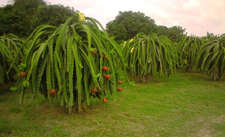 Dragon fruit tree is actually a cactus!  Who knew?  It will produce fruit in two years.