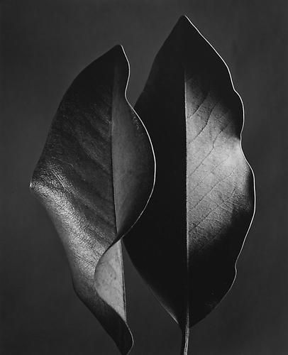 Ruth Bernhard, Two Leaves, 1952, selenium-toned gelatin silver print
