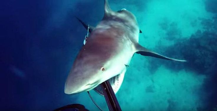 VIDEO. L'impressionnante attaque d'un requin-bouledogue