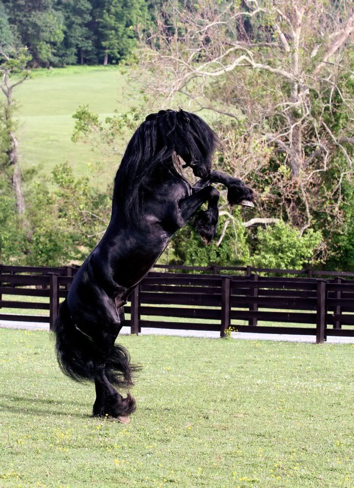 friesian rearing...wheres his face under all that mane? lol