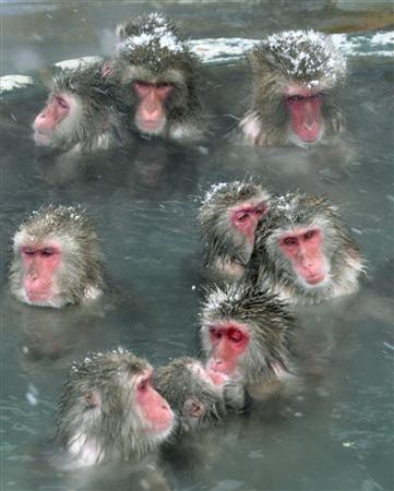 Japanese Monkeys enjoy hot spring in Hakodate, Hokkaido, Japan
