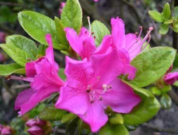 FLORACIÓN - Florecen de modo natural al inicio de la primavera. Por medio de invernaderos pueden obtenerse flores durante el invierno.