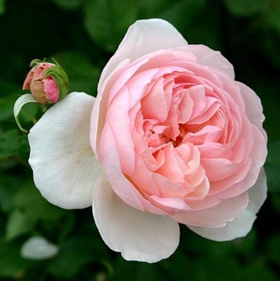 englische rose heritage david austin roses pinterest roses. Black Bedroom Furniture Sets. Home Design Ideas