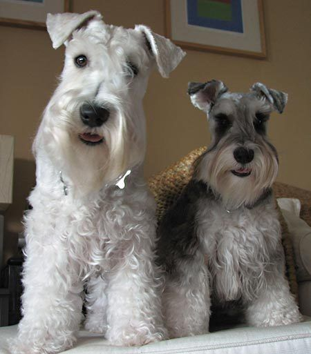 I love schnauzers so much! They are cute and smart! from dailypuppy.com