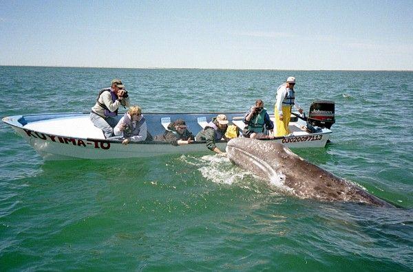 Gray Whales Saved Off Baja California