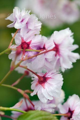 Prunus lannesiana 'Matsumae Aisen' (Japanese flowering cherry)