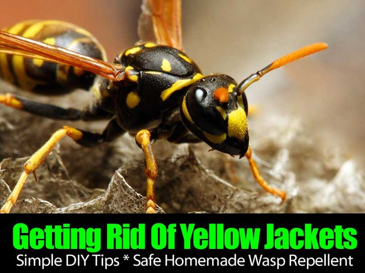 How To Get Rid Of Wasps Naturally 10 Ways For Control