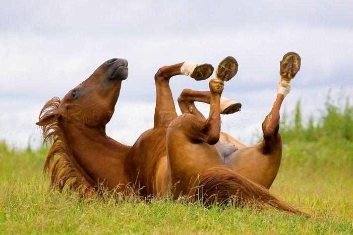 Прикольное фото с валяющейся лошадью