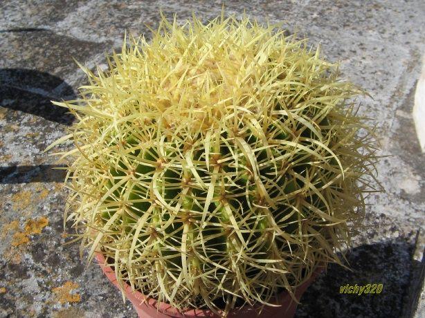 Echinocactus grusonii cv krauskopf echinocactus pinterest for Feroxcactus chile