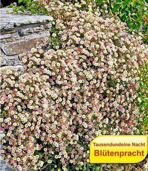 Ein Universal-Genie ist diese Staude, die von Sommer bis Herbst mit regelrechten Blütenteppichen übersät ist. Die Blüten spielen in der Farbe von Weiß und erröten beim Abblühen.