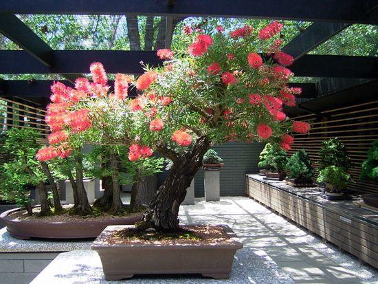 JPB:Bonsai Collection:the National Bonsai & Penjing Collection of Australia