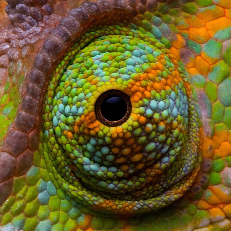 Chameleons have perhaps the most distinctive eyes of any reptile. The eyes are mounted in twin conical turrets and can move independently of each other, giving the chameleon the ability to see 360˚ around itself when seeking prey, and binocular vision in front when it is preparing to strike with its long, sticky tongue.