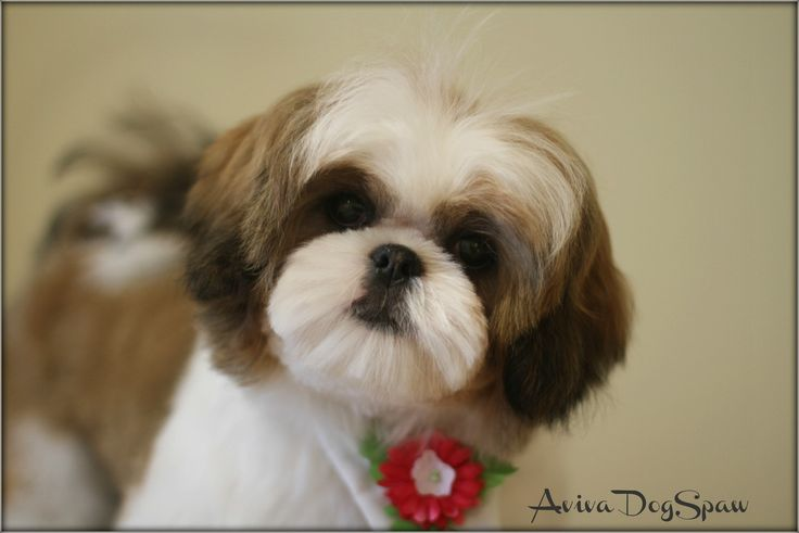 Dog Groomer Cut Dogs Ear