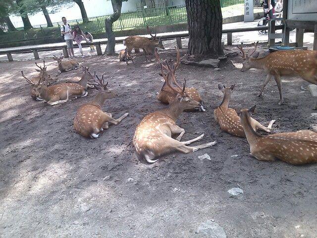 #nara #narapark #deer #奈良 #奈良公園 #鹿 さん 暑くなるとすぐダラー