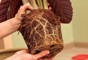 Comment rempoter une plante d'intérieur