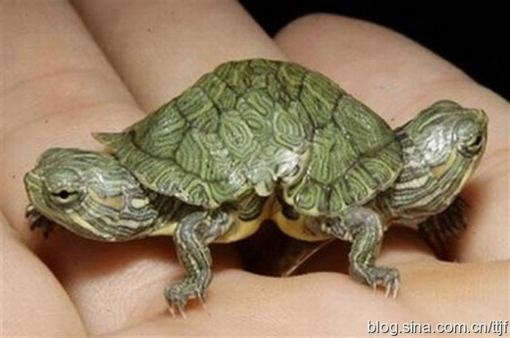 baby two headed turtle: Twin, Natural Skin Care, Head Turtles, Red, Sliders, Baby Animal, No Way, Animal Science, Photo