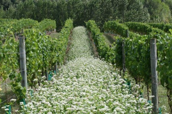 Turanga Creek Organic vineyard in Whitford
