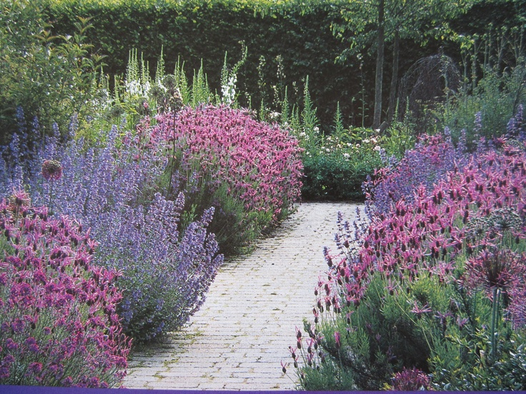 Pretty walkway with spanish lavendar and catmint.