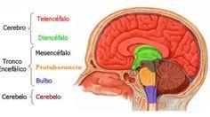 ¿Cuáles son las partes del cerebro humano? Explicamos todas las regiones, áreas y lóbulos del cerebro y sus funciones dentro del sistema nervioso central.