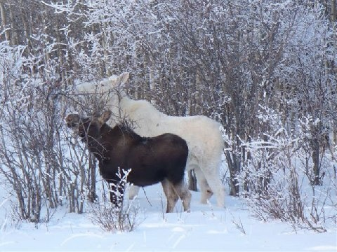 839bdc5b40e5ac5e47fbb4494dab44fc maine elk 9 best albino moose in upper michigan images on pinterest albino