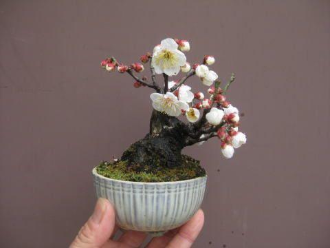 盆栽:野梅が咲く|春嘉の盆栽工房