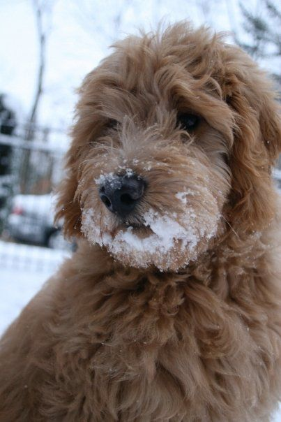 Goldendoodle  looks like my puppy :)